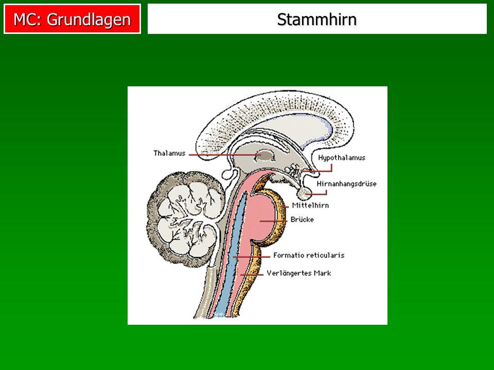 Stammhirn
