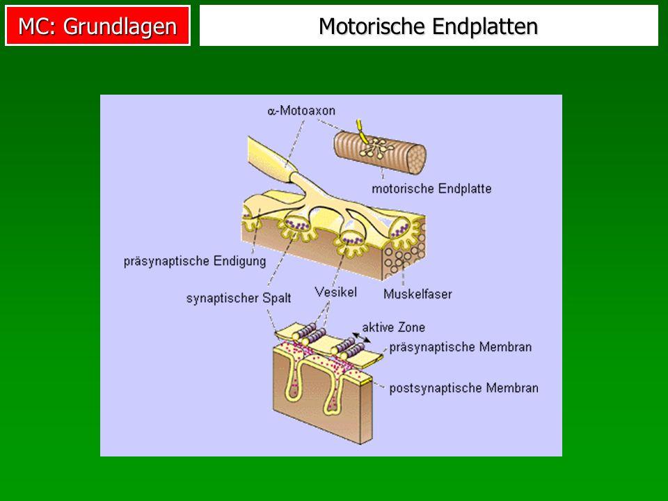 Motorische Endplatten