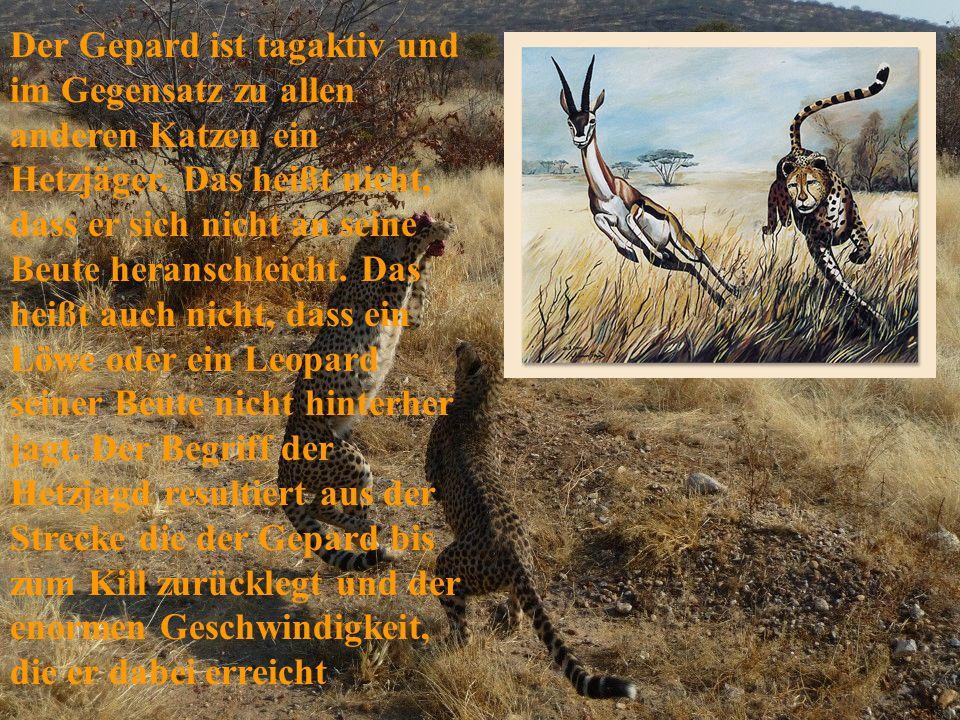 Der Gepard ist tagaktiv und im Gegensatz zu allen anderen Katzen ein Hetzjäger.