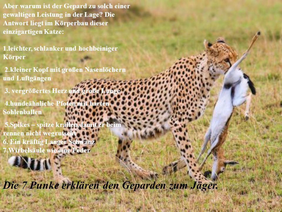 Die 7 Punke erklären den Geparden zum Jäger.