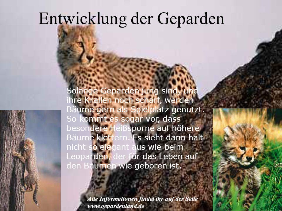 Entwicklung der Geparden