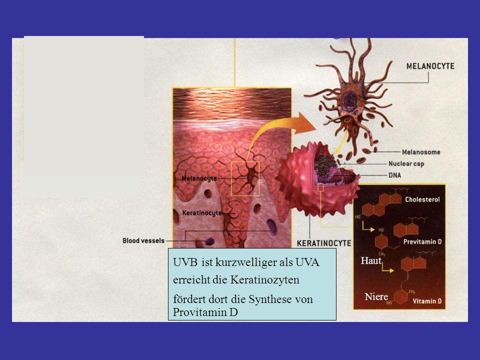 Haut Niere UVB ist kurzwelliger als UVA erreicht die Keratinozyten