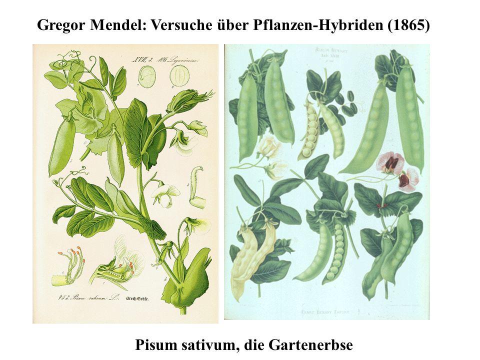 Pisum sativum, die Gartenerbse