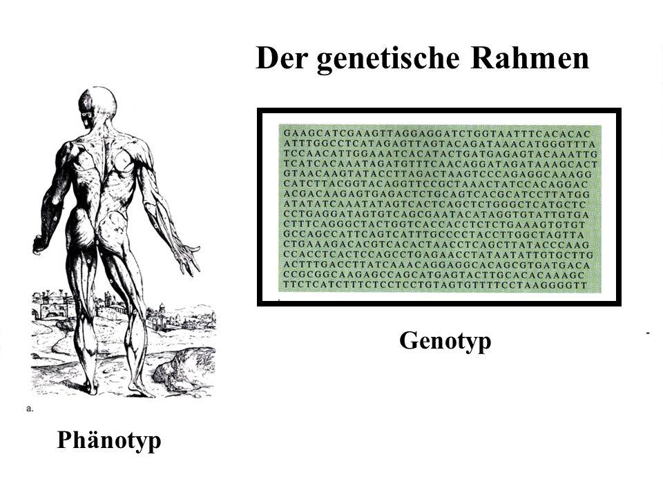 Der genetische Rahmen 469 Genotyp Phänotyp