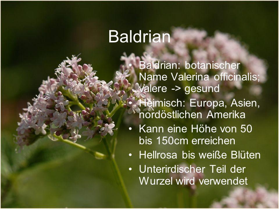 Baldrian Baldrian: botanischer Name Valerina officinalis; valere -> gesund. Heimisch: Europa, Asien, nordöstlichen Amerika.