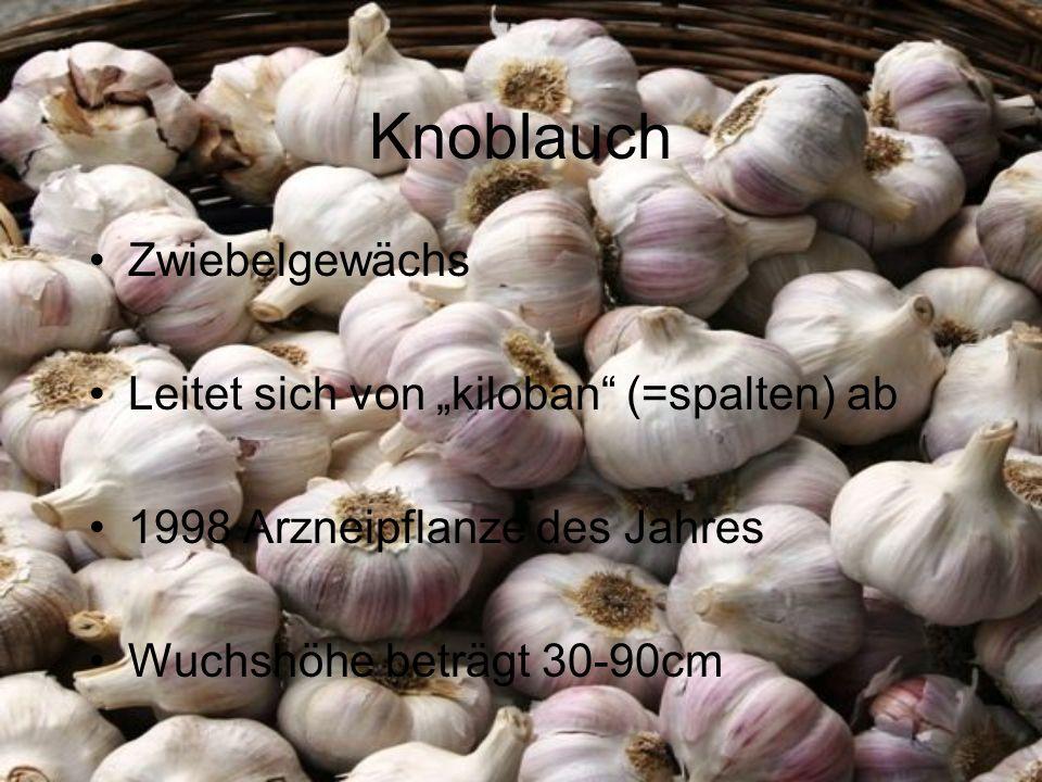 """Knoblauch Zwiebelgewächs Leitet sich von """"kiloban (=spalten) ab"""