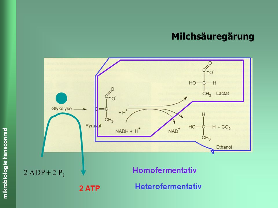 Milchsäuregärung Homofermentativ 2 ADP + 2 Pi Heterofermentativ 2 ATP