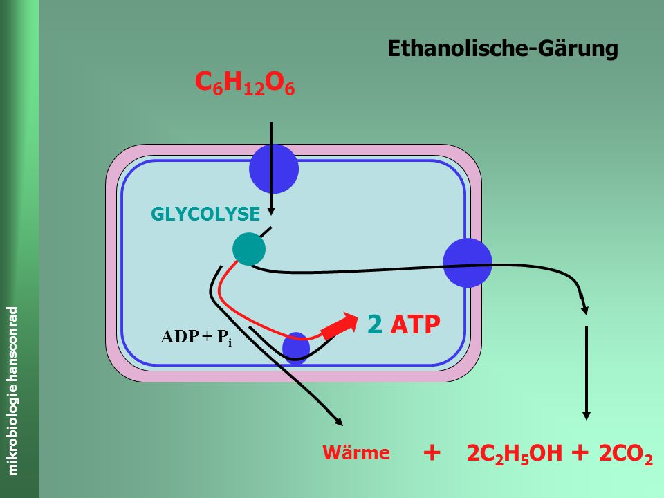 C6H12O6 2 ATP + Ethanolische-Gärung 2C2H5OH + 2CO2 GLYCOLYSE ADP + Pi