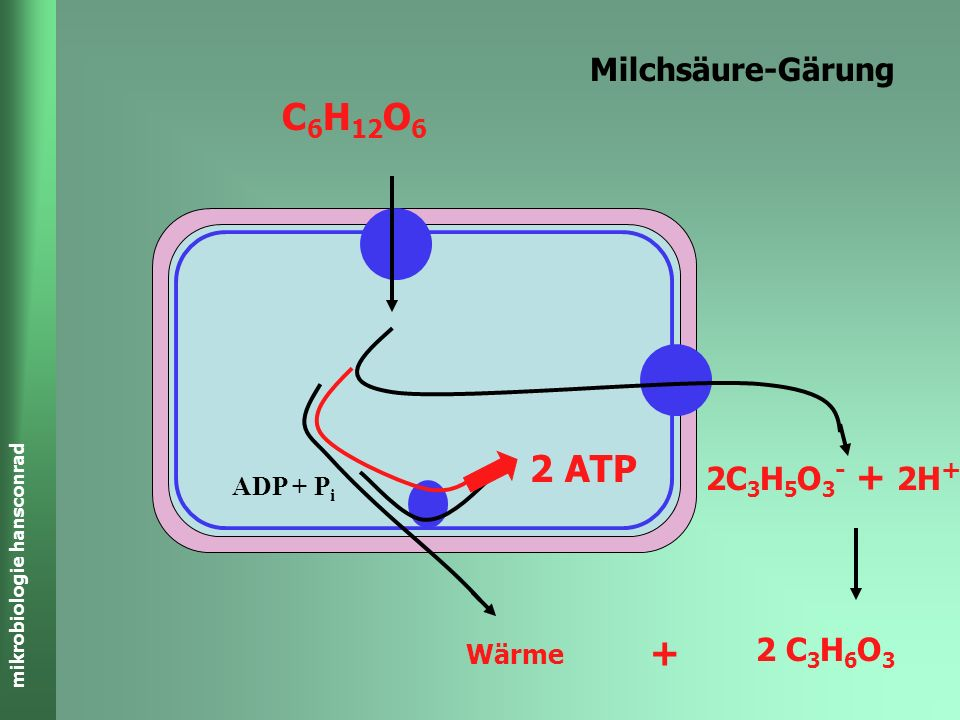 C6H12O6 2 ATP + Milchsäure-Gärung 2C3H5O3- + 2H+ 2 C3H6O3 ADP + Pi