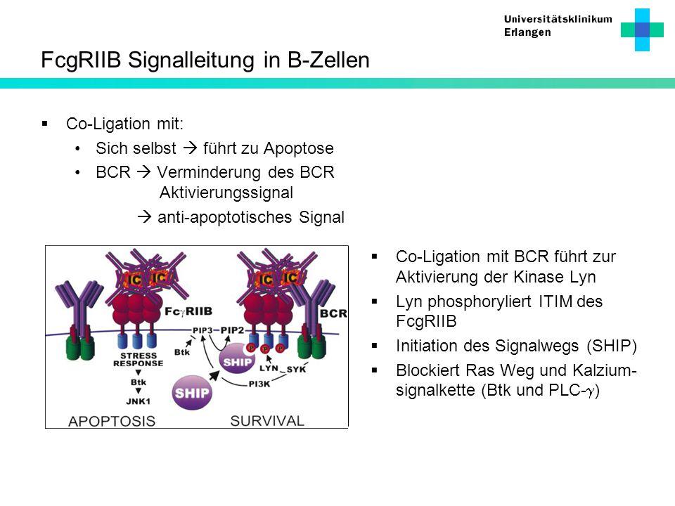 FcgRIIB Signalleitung in B-Zellen