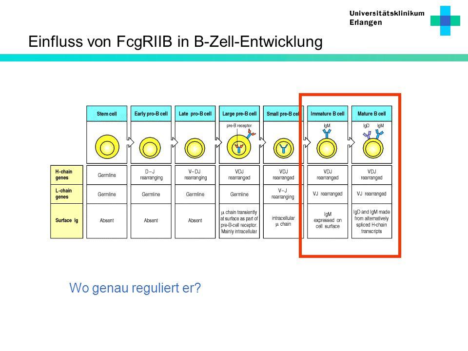 Einfluss von FcgRIIB in B-Zell-Entwicklung