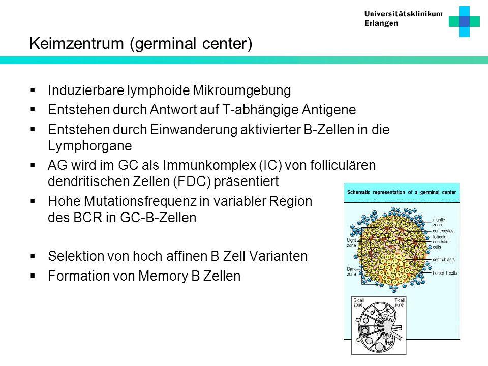 Keimzentrum (germinal center)
