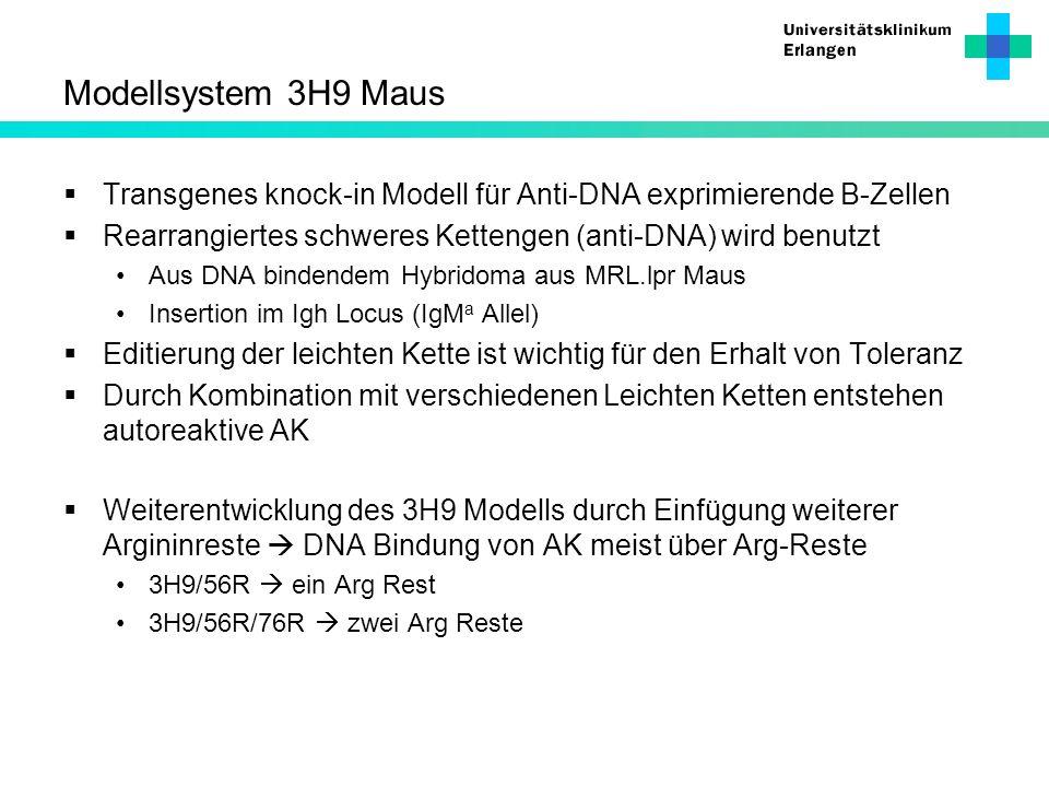 Modellsystem 3H9 Maus Transgenes knock-in Modell für Anti-DNA exprimierende B-Zellen. Rearrangiertes schweres Kettengen (anti-DNA) wird benutzt.