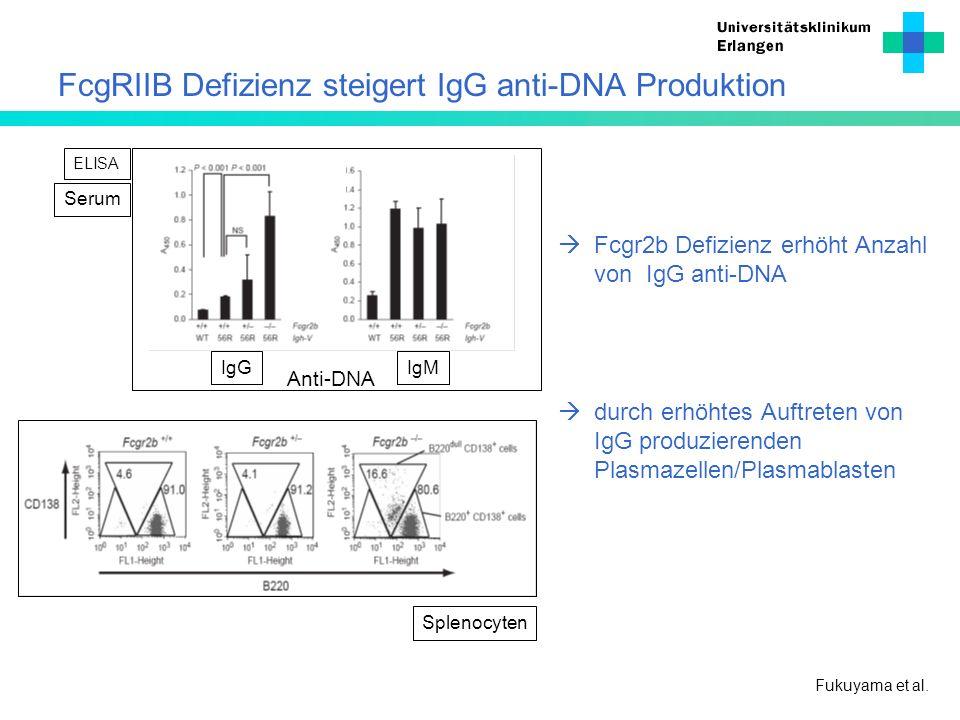 FcgRIIB Defizienz steigert IgG anti-DNA Produktion