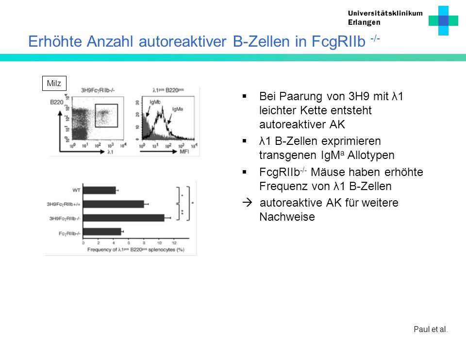 Erhöhte Anzahl autoreaktiver B-Zellen in FcgRIIb -/-