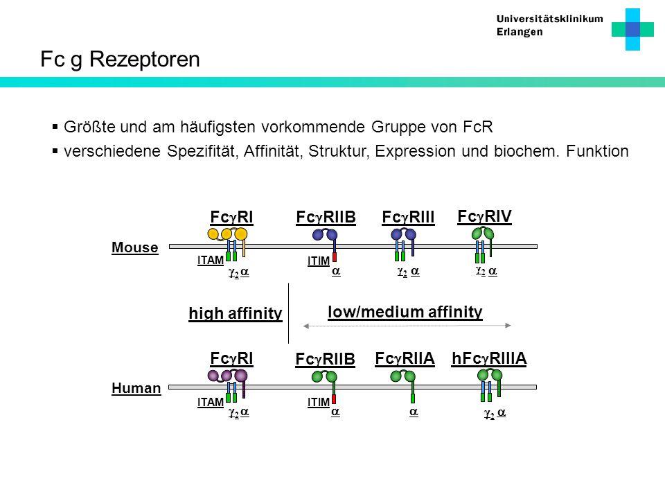 Fc g Rezeptoren Größte und am häufigsten vorkommende Gruppe von FcR
