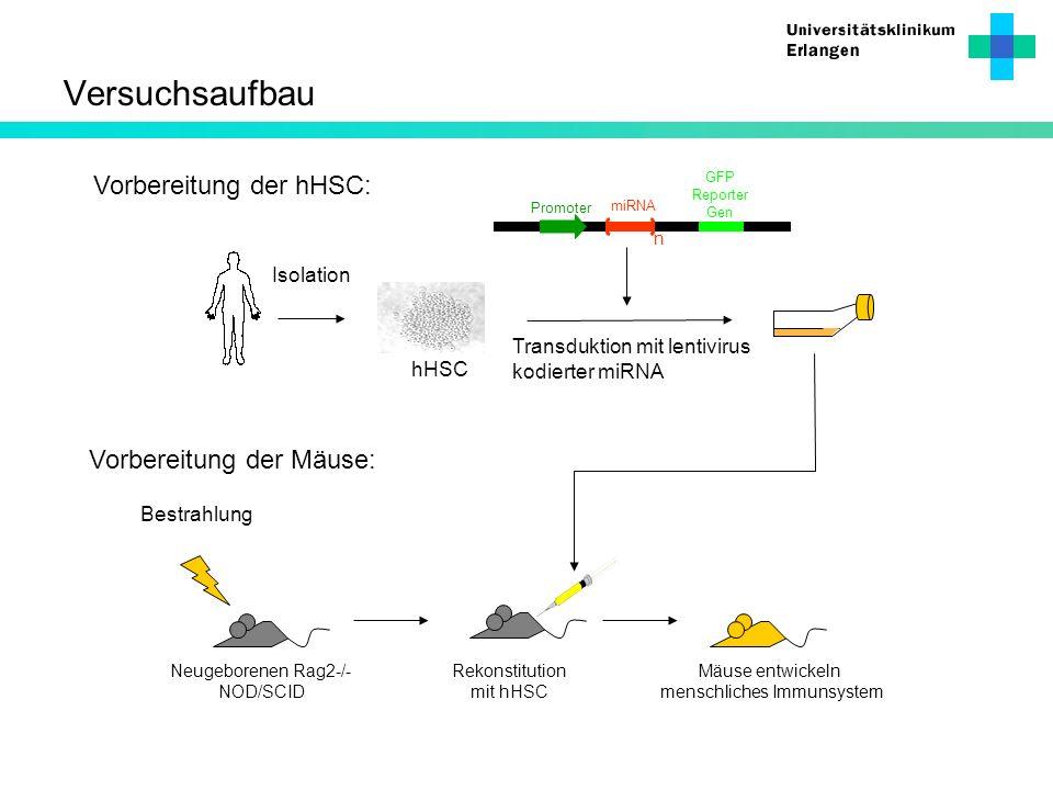 Mäuse entwickeln menschliches Immunsystem