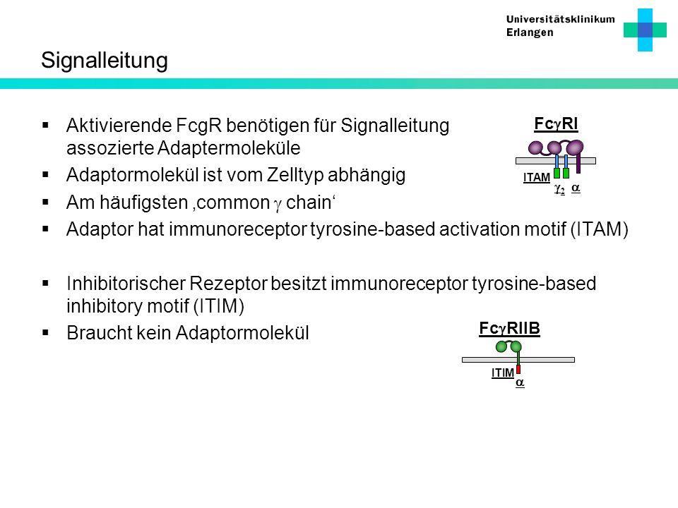 Signalleitung Aktivierende FcgR benötigen für Signalleitung assozierte Adaptermoleküle. Adaptormolekül ist vom Zelltyp abhängig.