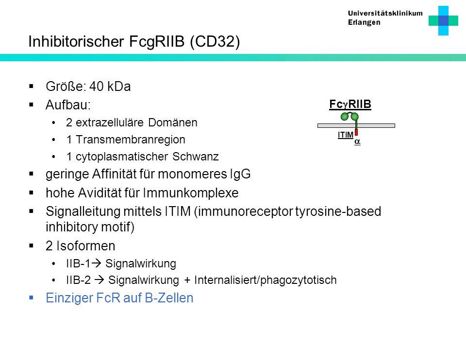 Inhibitorischer FcgRIIB (CD32)