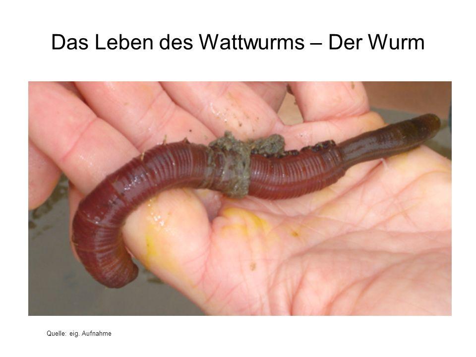 Das Leben des Wattwurms – Der Wurm