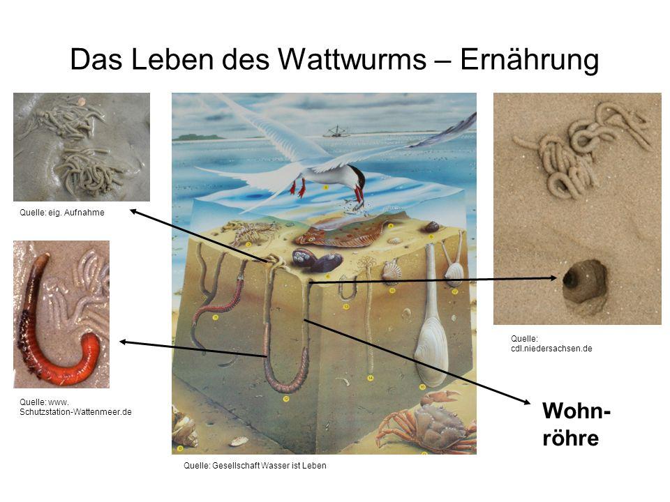 Das Leben des Wattwurms – Ernährung