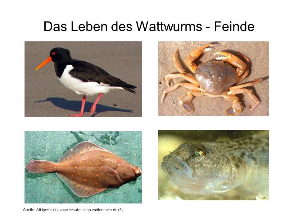 Das Leben des Wattwurms - Feinde