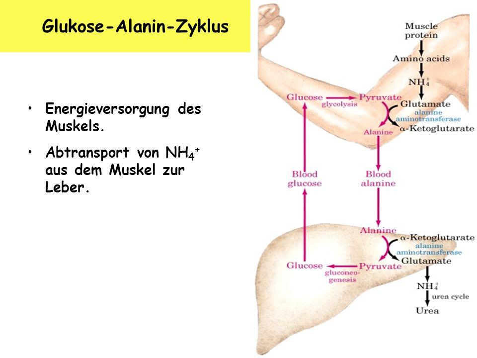 Glukose-Alanin-Zyklus