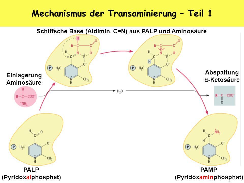 Mechanismus der Transaminierung – Teil 1