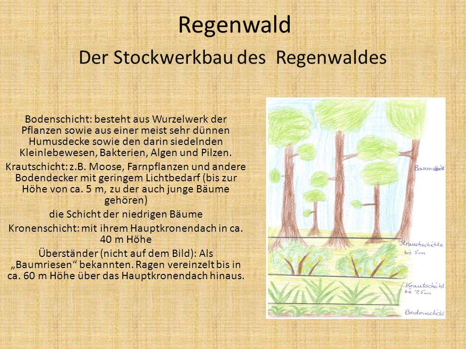 Regenwald Der Stockwerkbau des Regenwaldes