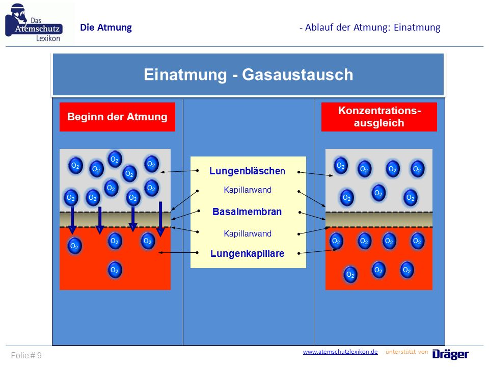 Einatmung - Gasaustausch Konzentrations-ausgleich