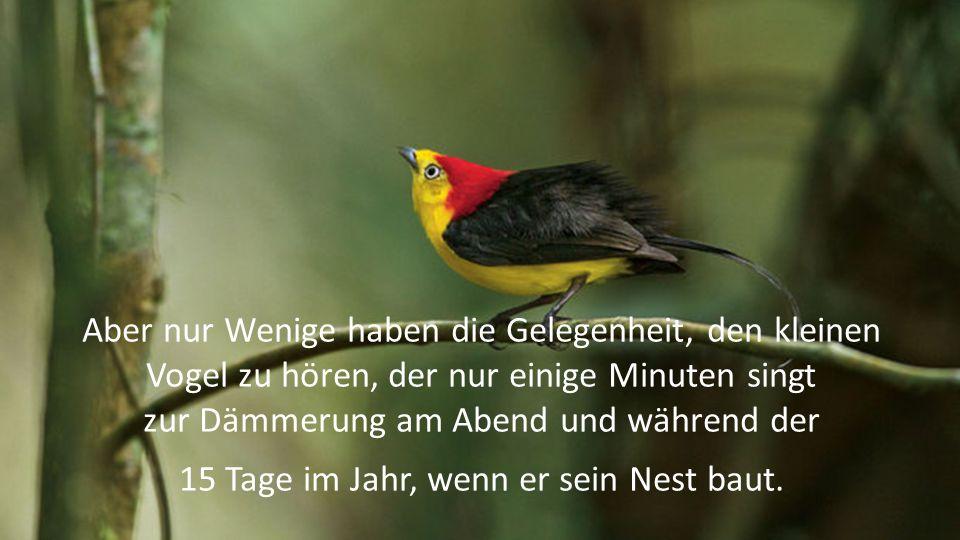 Aber nur Wenige haben die Gelegenheit, den kleinen Vogel zu hören, der nur einige Minuten singt zur Dämmerung am Abend und während der 15 Tage im Jahr, wenn er sein Nest baut.