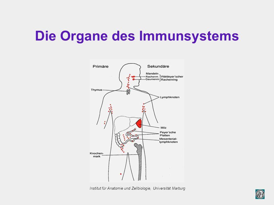 Die Organe des Immunsystems