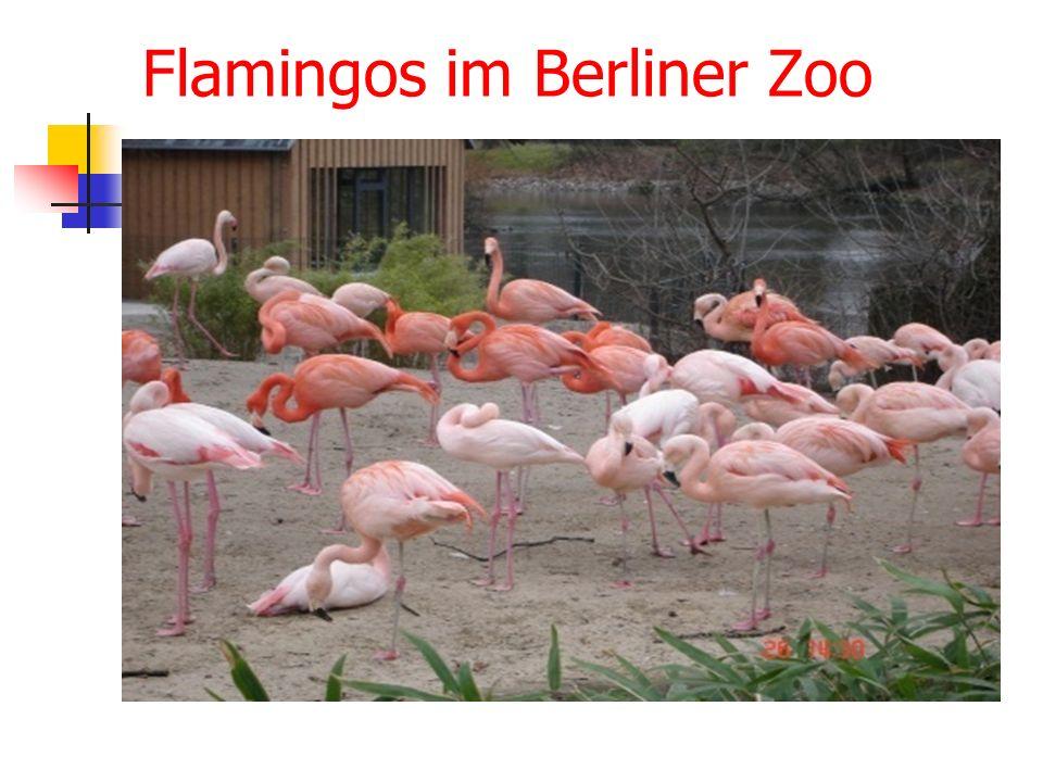 Flamingos im Berliner Zoo