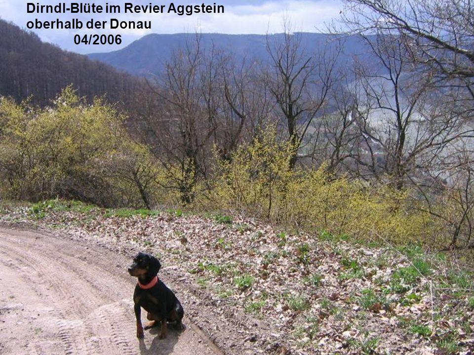 Dirndl-Blüte im Revier Aggstein