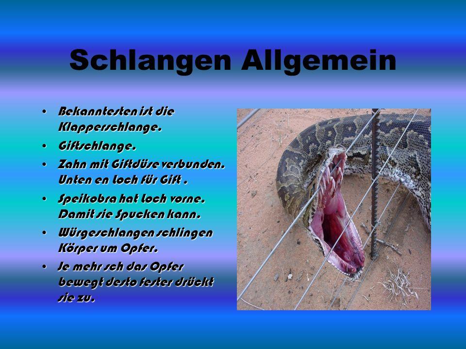 Schlangen Allgemein Bekanntesten ist die Klapperschlange.