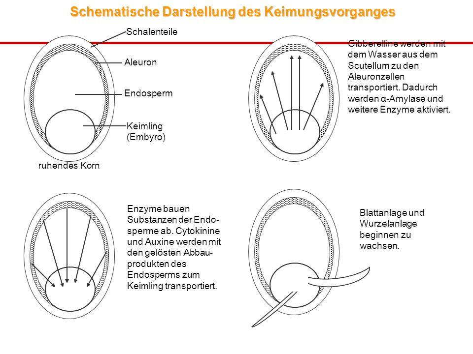 Schematische Darstellung des Keimungsvorganges