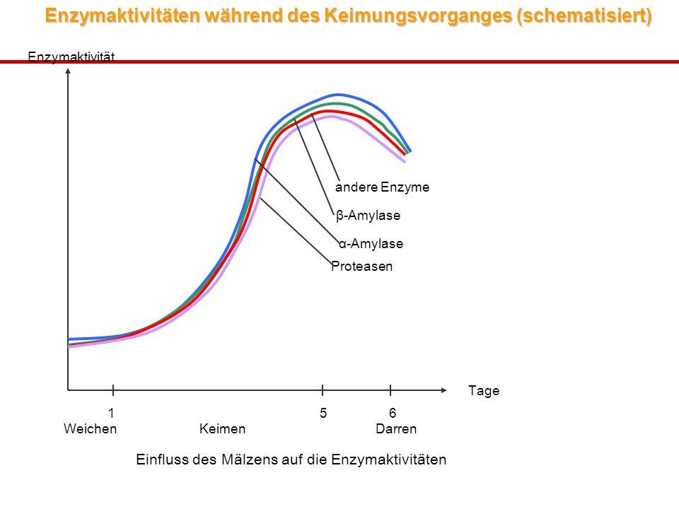 Enzymaktivitäten während des Keimungsvorganges (schematisiert)