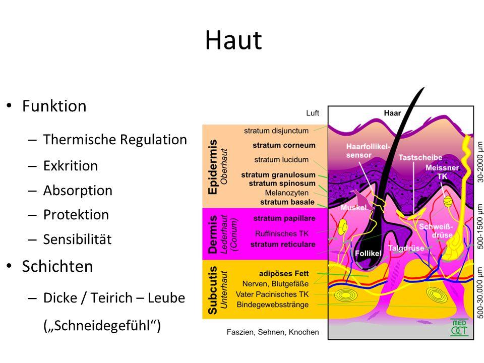 Haut Funktion Schichten Thermische Regulation Exkrition Absorption
