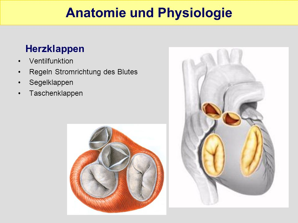 Wunderbar Herzwand Anatomie Zeitgenössisch - Anatomie Ideen ...