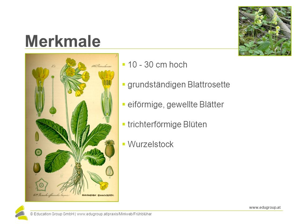 Merkmale 10 - 30 cm hoch grundständigen Blattrosette