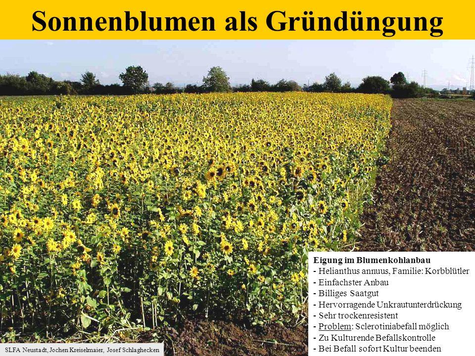 Sonnenblumen als Gründüngung