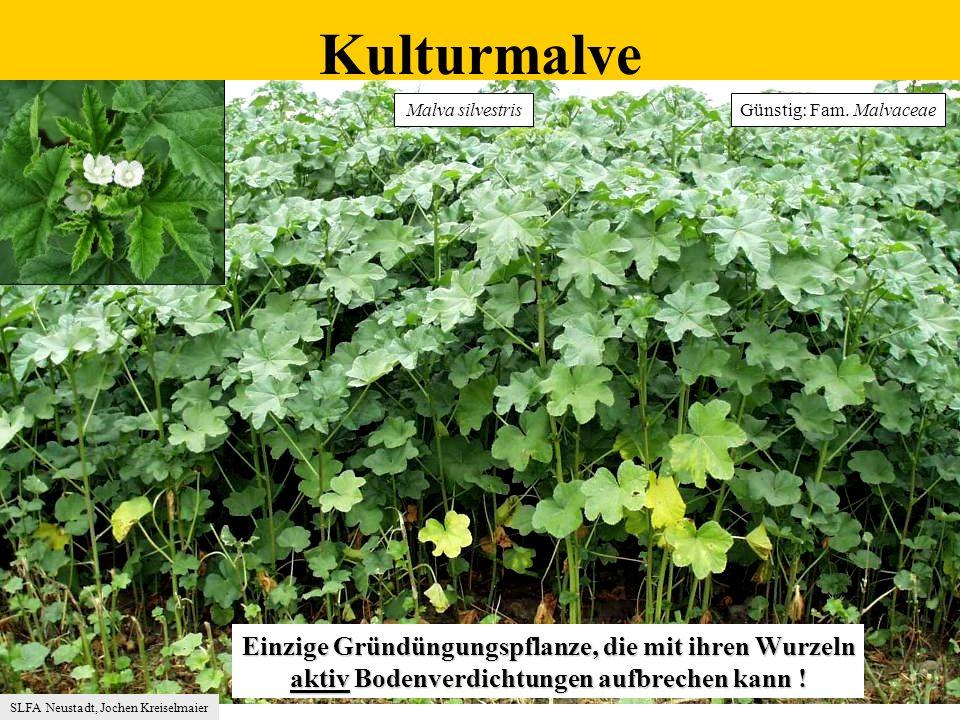 Kulturmalve Einzige Gründüngungspflanze, die mit ihren Wurzeln