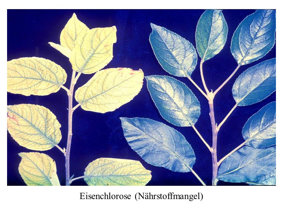 Eisenchlorose (Nährstoffmangel)