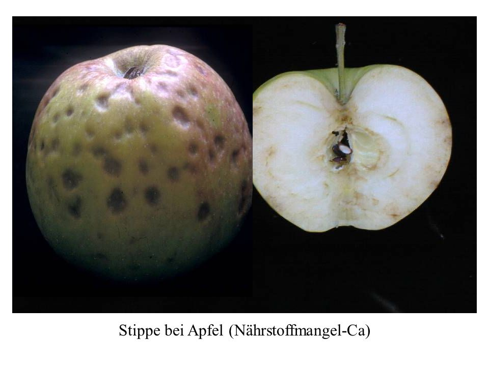 Stippe bei Apfel (Nährstoffmangel-Ca)