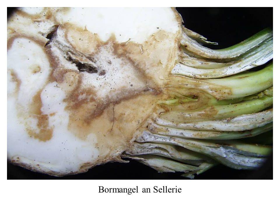 Bormangel an Sellerie