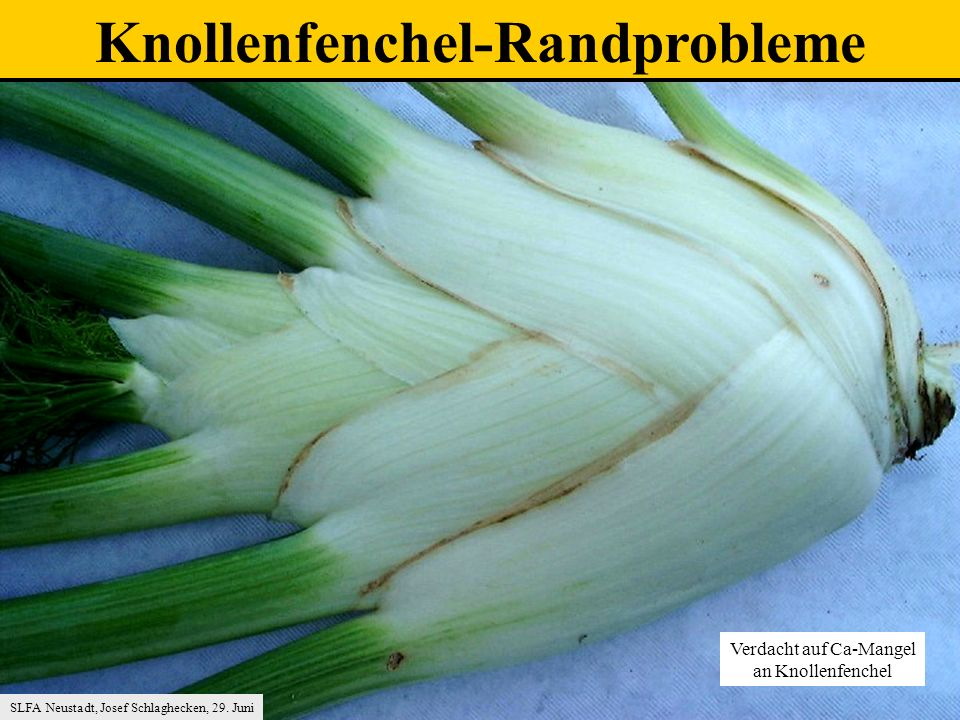 Knollenfenchel-Randprobleme