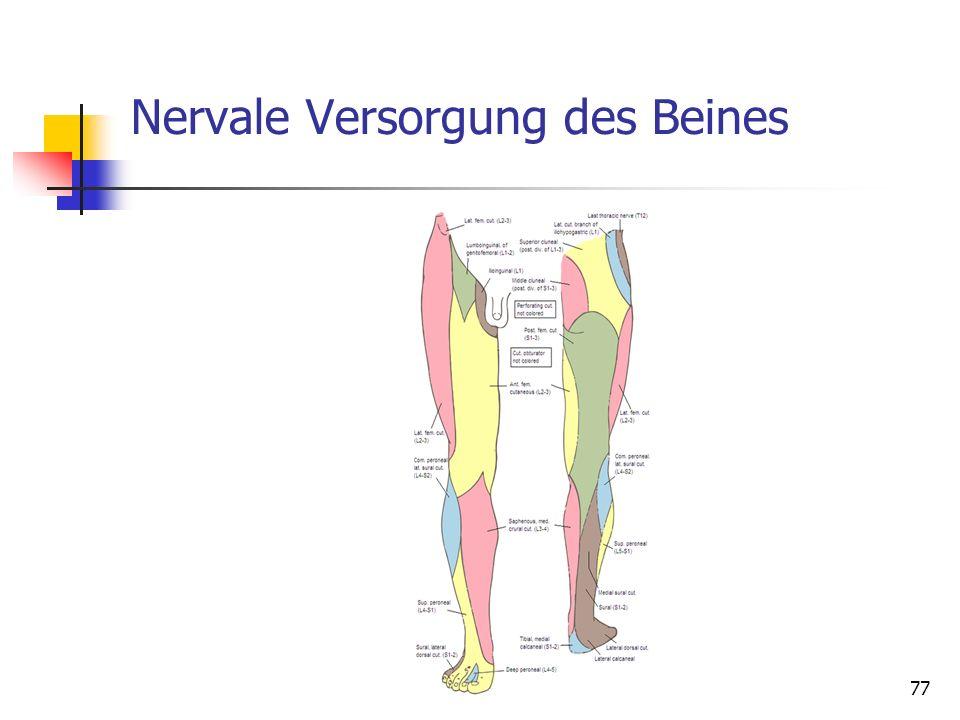 Nervale Versorgung des Beines