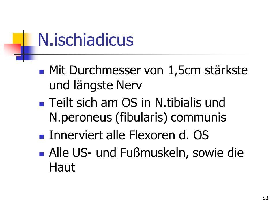 N.ischiadicus Mit Durchmesser von 1,5cm stärkste und längste Nerv