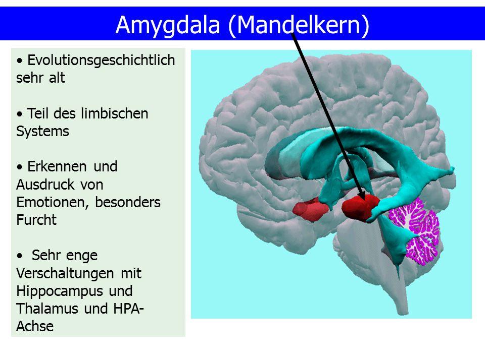 Amygdala (Mandelkern)