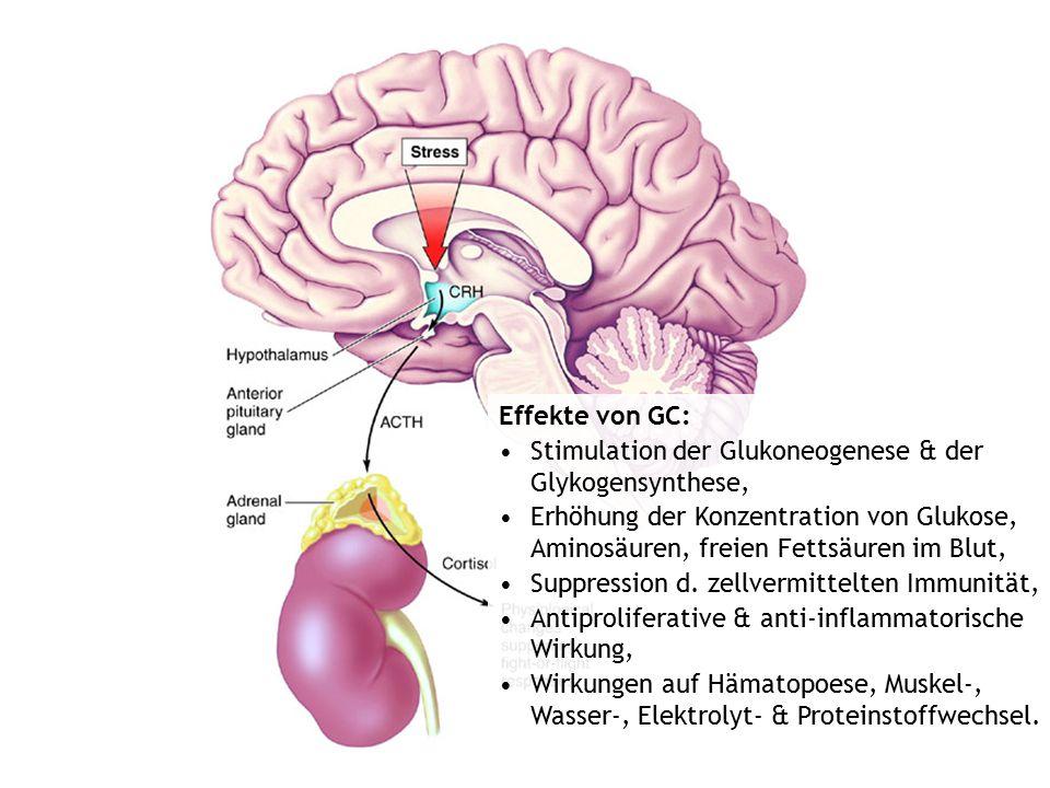 Effekte von GC: Stimulation der Glukoneogenese & der Glykogensynthese,